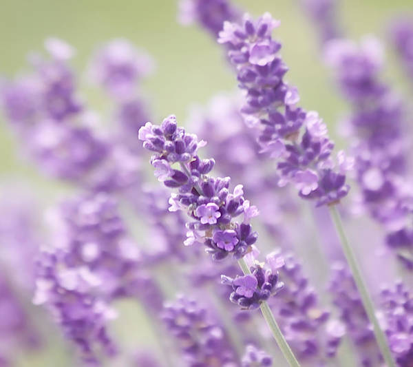 Lavender Art Print featuring the photograph Lavender Dreams by Kim Hojnacki