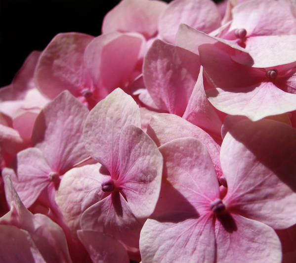 Hydrangea Art Print featuring the photograph Pink Hydrangea by Mary Lane