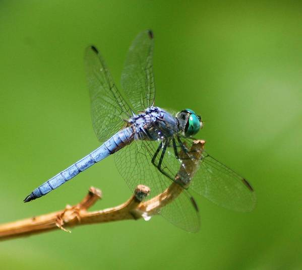 Art Print featuring the photograph Blue Dragonfly Start Up by Meeli Sonn
