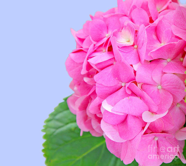 Hydrangea Art Print featuring the photograph Pink Hydrangea by Susan Wall