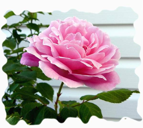 Royal Kate Rose Art Print featuring the photograph Royal Kate Rose by Will Borden