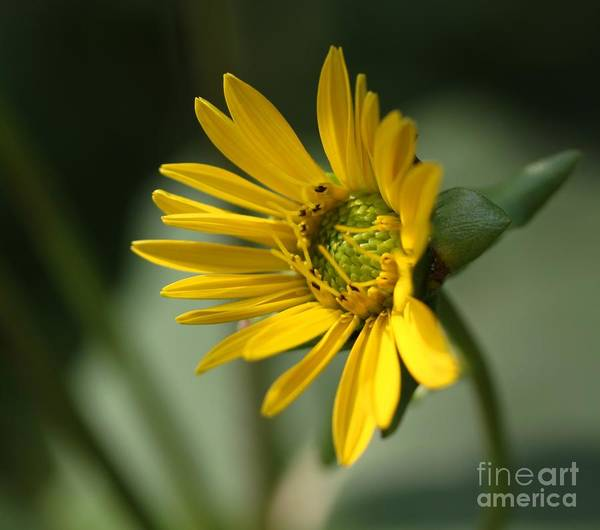 Floral Art Print featuring the photograph Single Sun Daisy by Freda Sbordoni