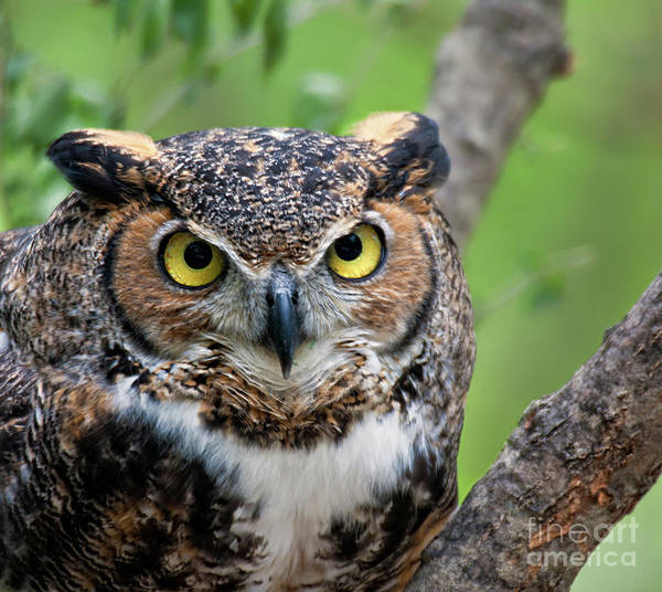 Bird Art Print featuring the photograph Wise Old Owl by Carolyn Fox