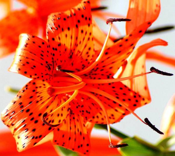 Lily Art Print featuring the photograph Orange Glow by Lisa Scott