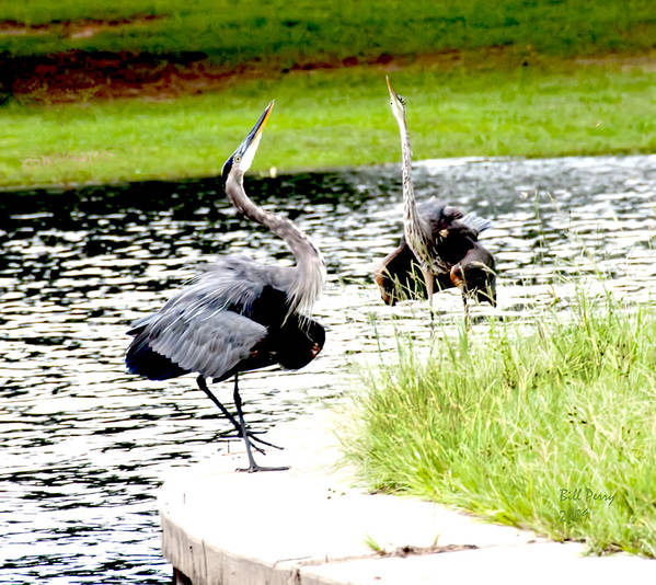 Waterfowl Art Print featuring the photograph Blue Heron Mating Dance by Bill Perry