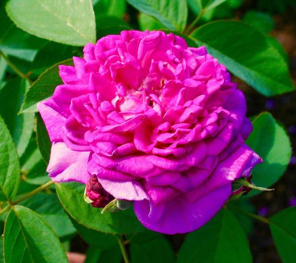 Purple Rose Art Print featuring the photograph Color Of Rose by Bennett Thompson