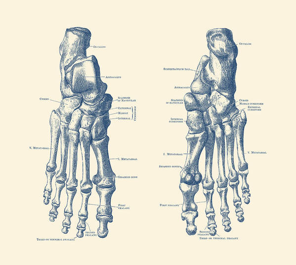 Foot And Ankle Skeletal Diagram Anatomy Poster Art Print By