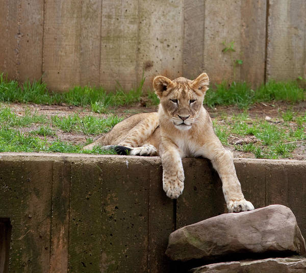 Lion Cub Art Print featuring the photograph Lion Cub by Christina Durity