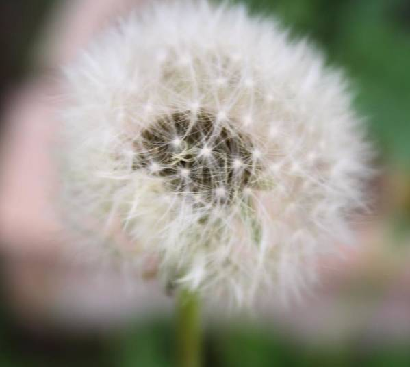 Dandelion Art Print featuring the photograph Poof by Lynnette Johns