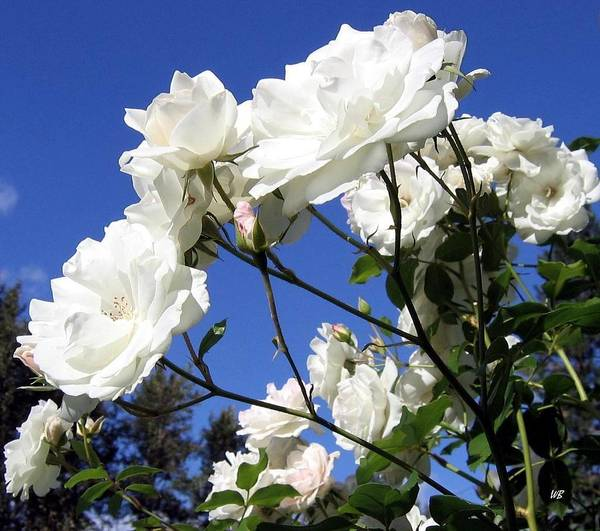Roses Art Print featuring the photograph The Iceberg Rose by Will Borden