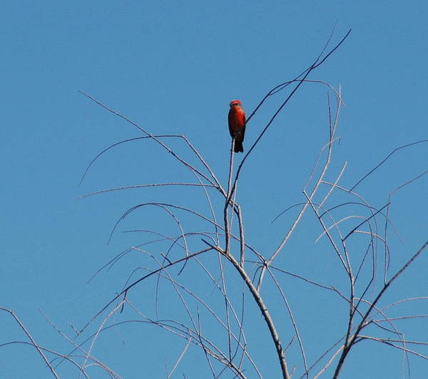 Red Art Print featuring the photograph Vermillion Flycatcher by Teresa Stallings