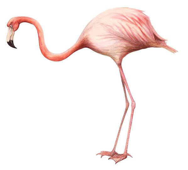 No People; Square Image; Side View; Full Length; White Background; One Animal; Wildlife; Close Up; Zoology; Illustration And Painting; Bird; Beak; Feather; Pink; Web; Flamingo; Phoenicopterus Ruber Art Print featuring the drawing Flamingo by Anonymous