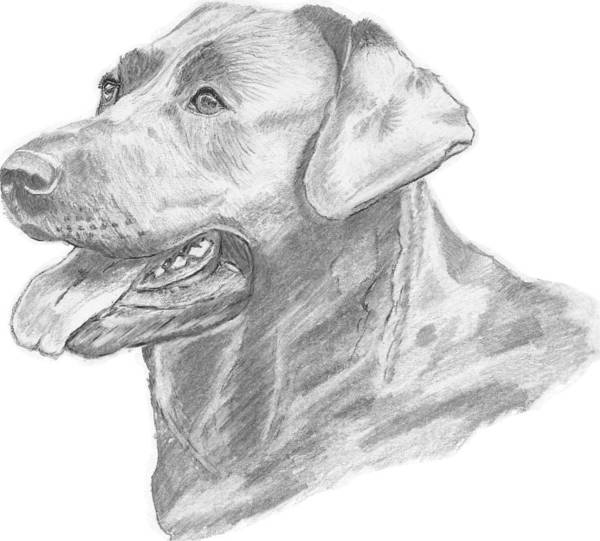 Labrador Art Print featuring the drawing Labrador Dog Drawing by Catherine Roberts