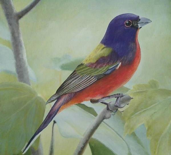 9ae6c04bff9 Painted Bunting Art Print featuring the painting Painted Bunting by Elizah  Monai