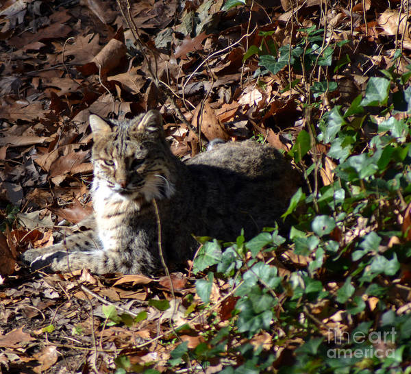 Wildlife Art Print featuring the photograph Relaxing Male Bobcat by Eva Thomas