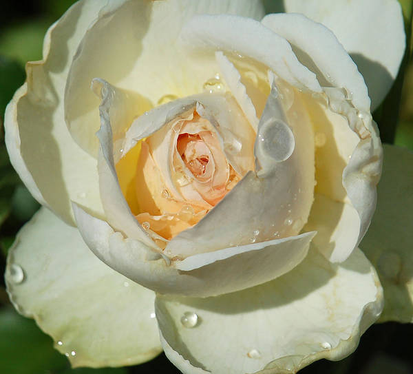 Rose Art Print featuring the photograph Unfolding by Suzanne Gaff