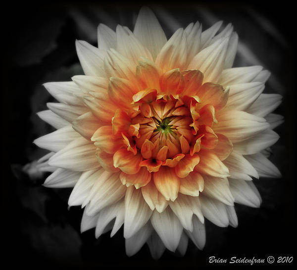 Flower Black And White Art Print featuring the photograph In Bloom by Brian Seidenfrau
