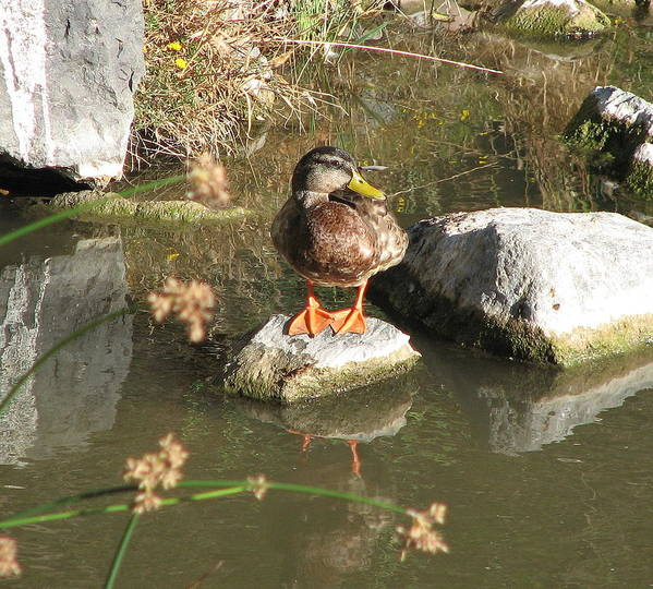Duck Art Print featuring the photograph Ducky by Kathy Roncarati