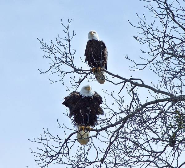 Bald Eagles Art Print featuring the photograph Eagle Pair by John Prickett
