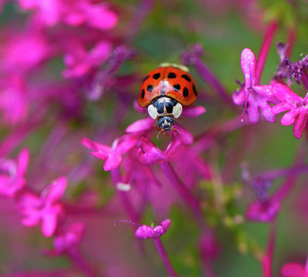 Bug Art Print featuring the photograph Little Lady by Shelley Neff
