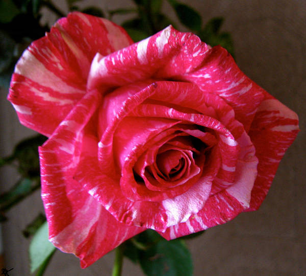Roses Are Red Right Art Print featuring the photograph Roses Are Red Right by Debra   Vatalaro