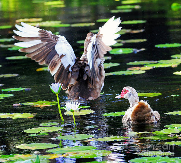 Duck Art Print featuring the photograph Stretching Out by Jennifer Robin