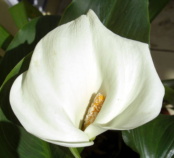 White Cala Lily Photograph Art Print featuring the photograph White Calla Lily by Frederic Kohli