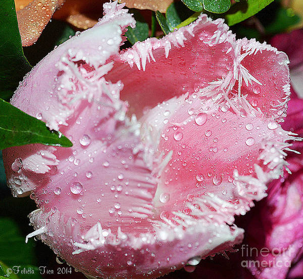 Tulip Art Print featuring the photograph Tulip Lace by Felicia Tica