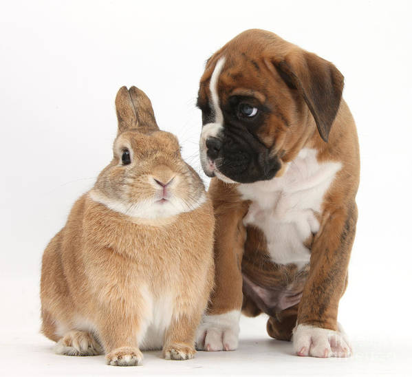 Boxer Art Print featuring the photograph Boxer Puppy And Netherland-cross Rabbit by Mark Taylor