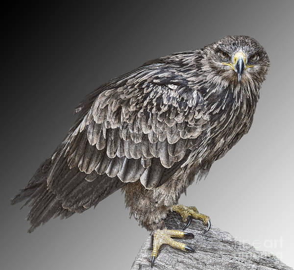 Bird Of Prey Art Print featuring the photograph African Tawny Eagle by Sheila Laurens
