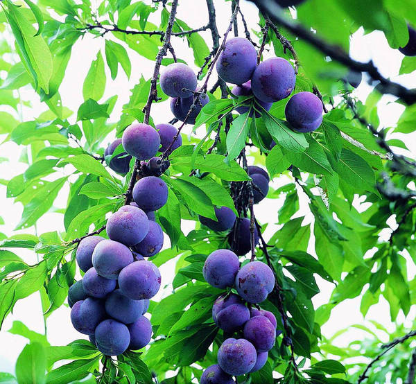 Agriculture Art Print featuring the photograph Beautiful Blue Plums On The Tree by Jeelan Clark