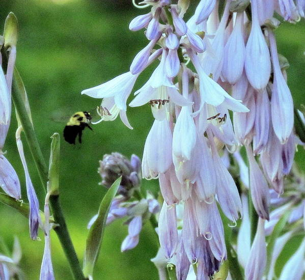 Bumblebee Art Print featuring the photograph Nectar For The Bumblebee by Patty Gross