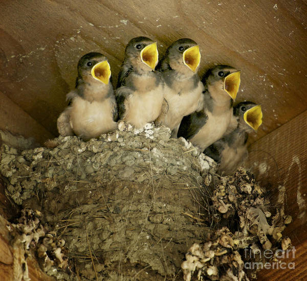 Mud Swallows Print featuring the photograph Pick Me by Diane Smith