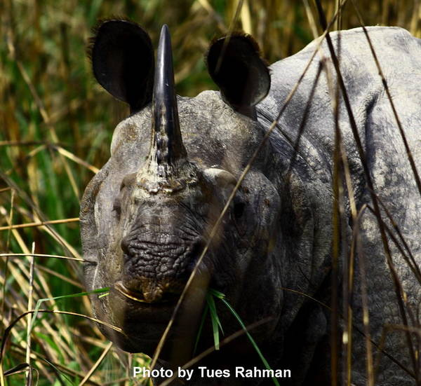 A Black One Horned Rhino At Kaziranga National Park Art Print featuring the photograph Rhino by Tues Rahman