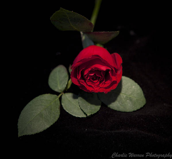Rose Art Print featuring the photograph The Rose by Charles Warren