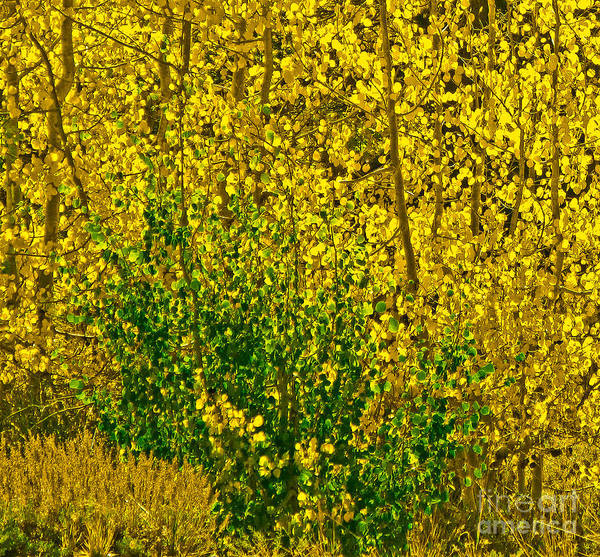 Aspen Leaves Art Print featuring the photograph The Turn by L J Oakes