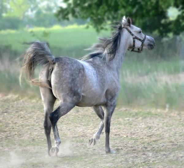 Animal Art Print featuring the photograph Arab Horse by Jaroslaw Grudzinski