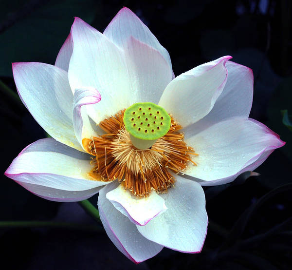 Flower Art Print featuring the photograph Exotic Lotus by Blima Efraim