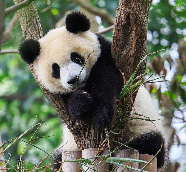 Horizontal Art Print featuring the photograph Panda Cub Resting On Tree by Feng Wei Photography