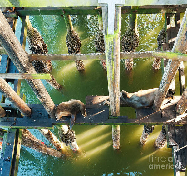 California Sealions Art Print featuring the photograph California Sealions Under The Santa Cruz Pier by Artist and Photographer Laura Wrede