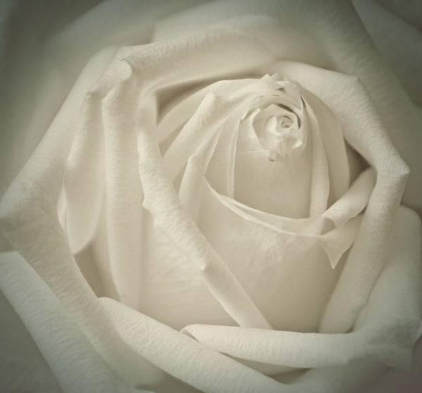 Flora Art Print featuring the photograph Soft White Rose by Karen Martin