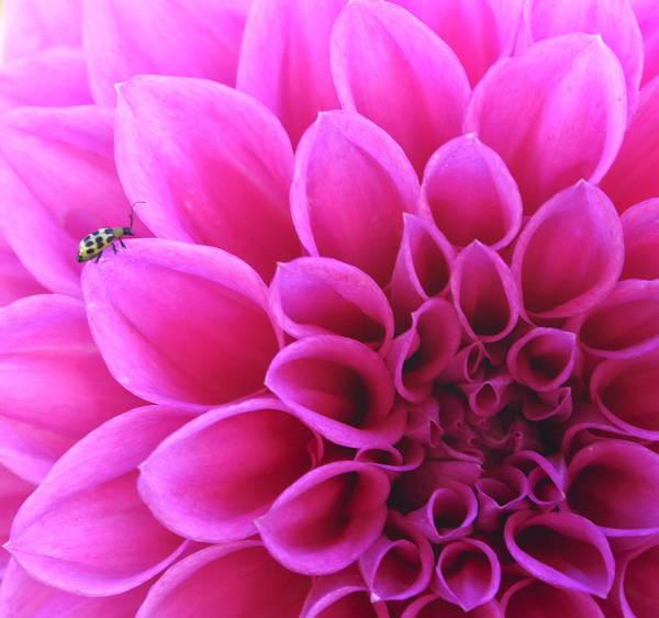 Flower Art Print featuring the photograph A Bug by Danielle Miller