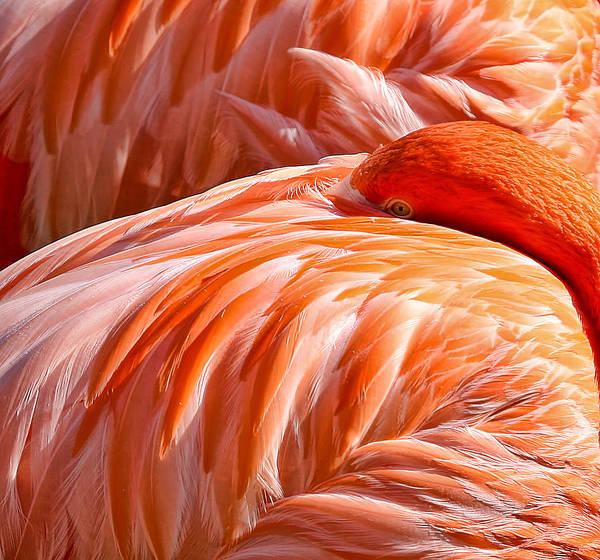 Flamingo Art Print featuring the photograph Always Aware by Bill Linhares