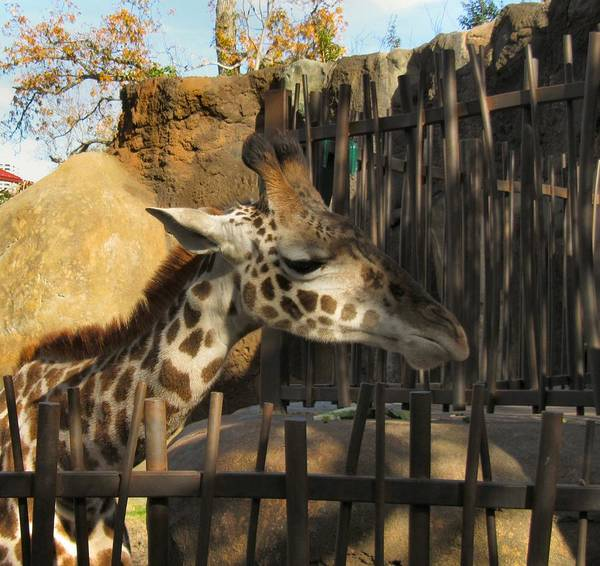 Giraffe Art Print featuring the photograph Can We Talk by Camera Candy