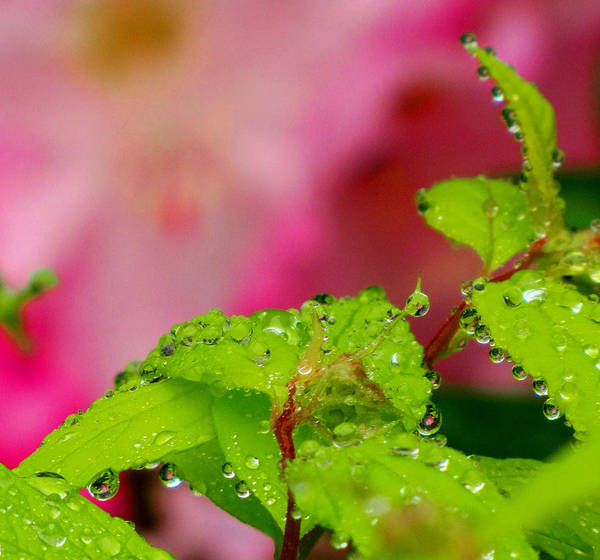 Raindrops Art Print featuring the photograph Dewdrops And Pastels by Lisa Jayne Konopka