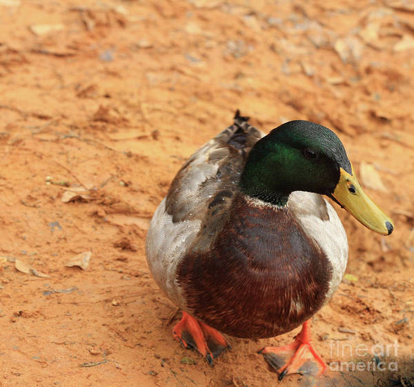 Mallard Photography Art Print featuring the photograph Number 17 by Kim Henderson