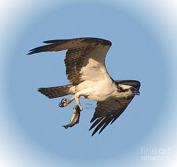 Osprey Art Print featuring the photograph Osprey Natures Way Ll by Rennae Christman