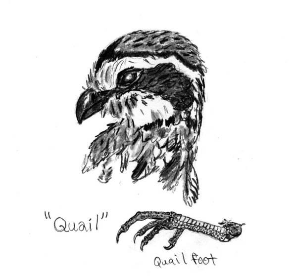 Quail Art Print featuring the drawing Quail Head With Foot by Kevin Callahan