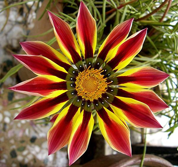 Flower Art Print featuring the photograph Sun Ray Flower by Caroline Urbania Naeem