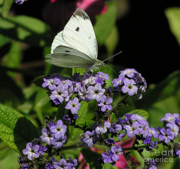 White Art Print featuring the photograph White Butterfly by Louise Magno